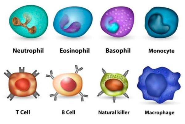 Immunsystem-stärken-Immunzellen