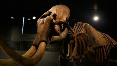 Mammut Skelett